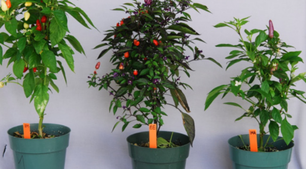 6.Examples of Banker Plants 3: Ornamental Pepper have been used to establish Amblyseius swirskii for biological control of multiple pests in greenhouse vegetable production.
