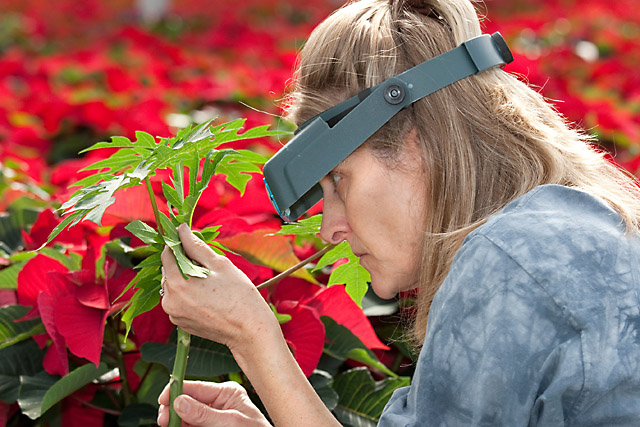 7.The use of banker plants has been successful among foliage growers. Research shows a lot of potential for greenhouse vegetable production as well. In the picture, Technician Katherine Houben (from the University of Florida) looks for benefitial insecs on a papaya banker plant