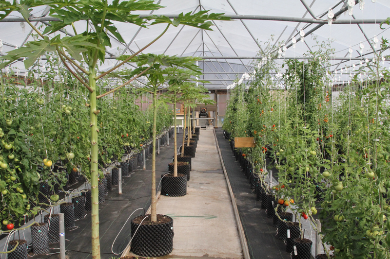 1.What is a banker plant? – A banker plant is a plant that has a population of reproducing natural enemies on it. These are plants that are different to the crop we are growing, and they attract a species of insect similar to the pest we want to control, which is called an alternate host. These alternate hosts will not feed on our crop, just the banker plants. Natural enemies are then introduced and they feed on these alternate hosts. If the pest come, the thriving natural enemy insect population will move from the banker plants and attack the pest on our crop. In the picture, greenhouse tomatoes growing, alongside papaya banker plants. This is done to produce natural enemies which control whitefly.