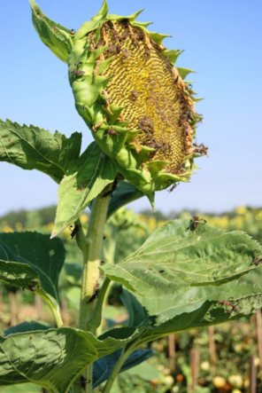 sunflower ipm